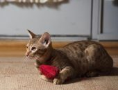 кошка оцикет с красной игрушкой в лапах