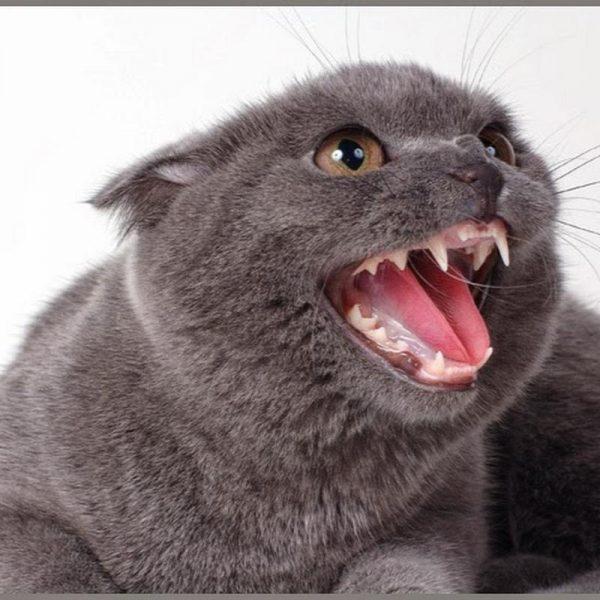 Кошка оскалилась