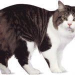 Кошка породы кимрик