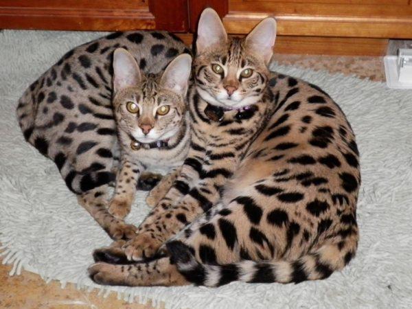 Кошка савана F3 — гибрид третьего поколения