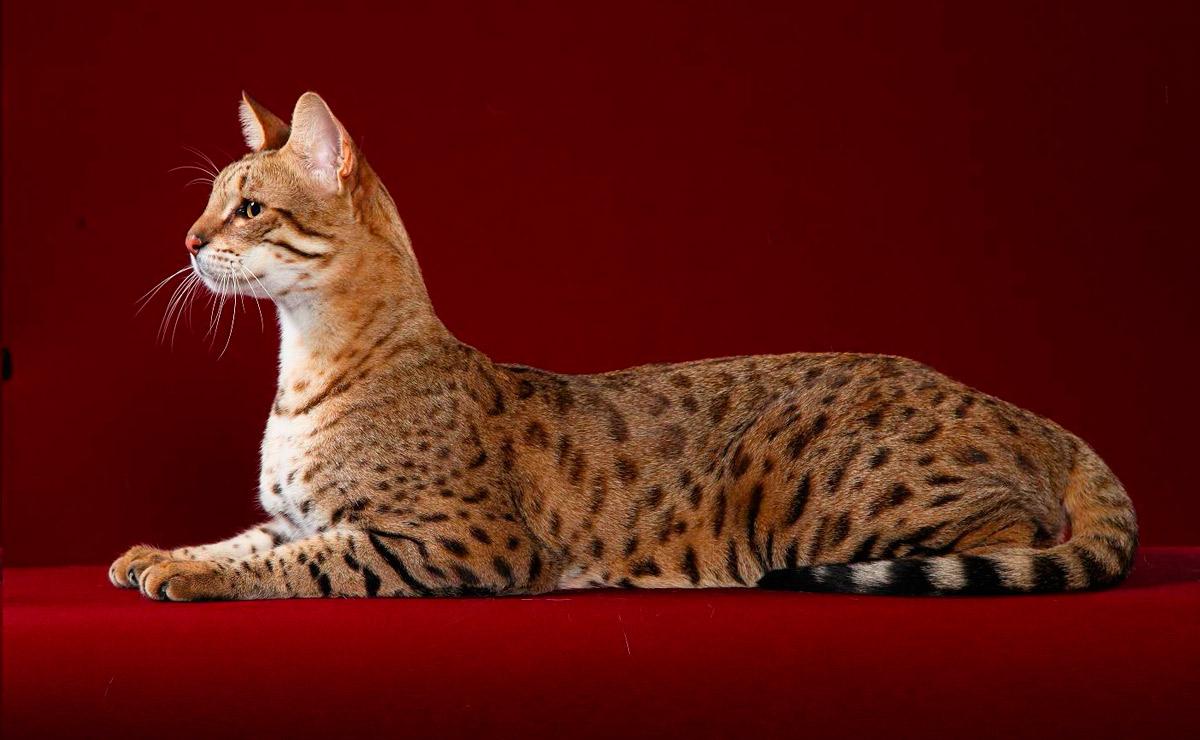 Знакомьтесь: кошка породы саванна
