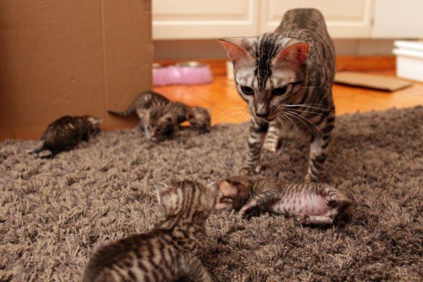 кошка породы тойгер и её маленькие котята