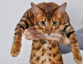 кошка породы тойкер в руках