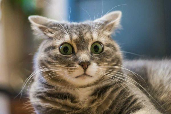 уши кота разведены в стороны и широко раскрыты глаза в изумлении