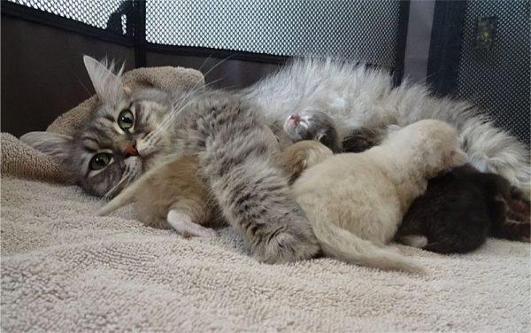 Кошка рагамаффин кормит котят
