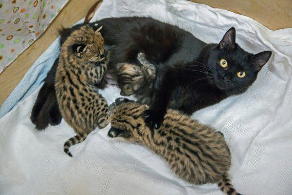 Кошка с чужими котятами