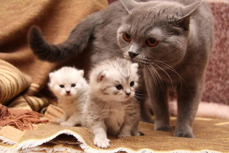Сколько сосков у кошки и кота — их строение и функции