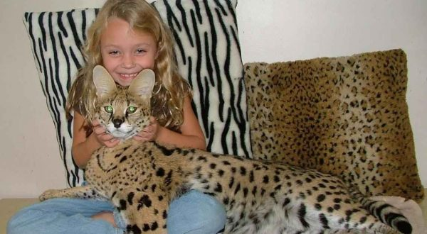 Кошка Сафари с ребёнком