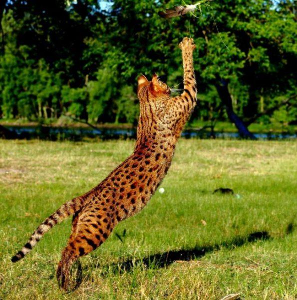 Кошка саванна играет с перышком