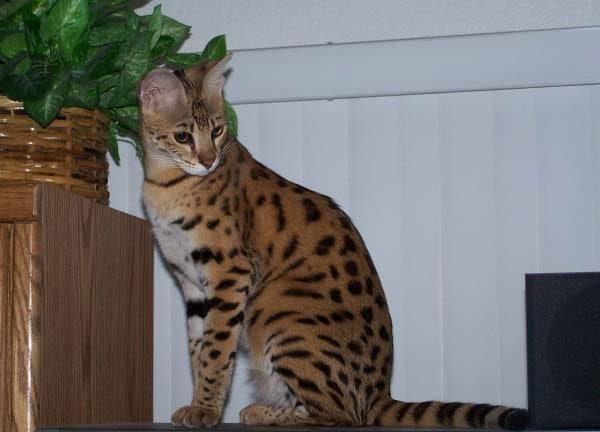 Кошка саванна на высокой полке