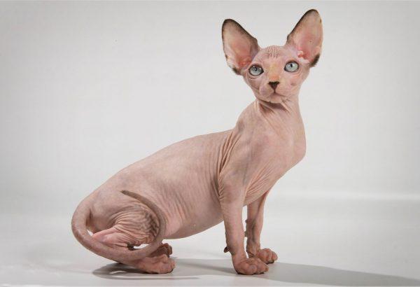 Кошка-сфинкс