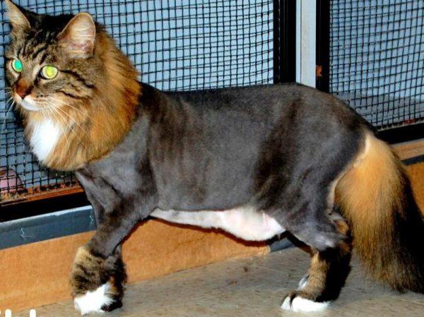 Кошка со стрижкой «Пума»