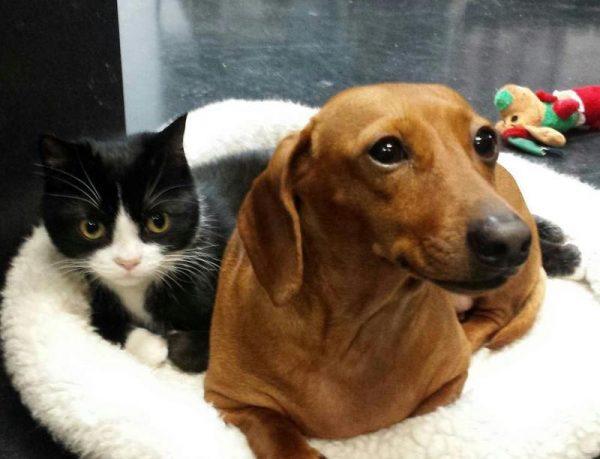 Кошка и такса