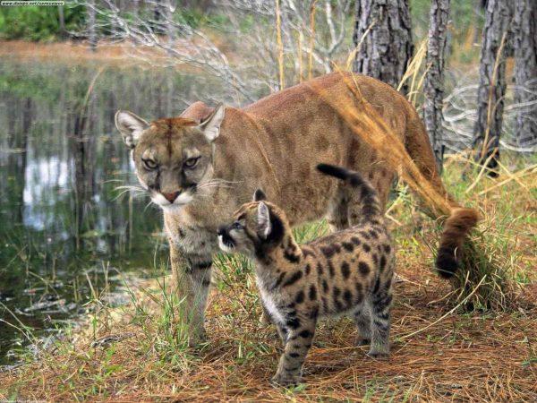 Кошка темминка с котёнком