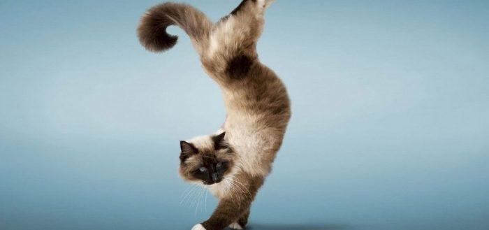 кошка трюк