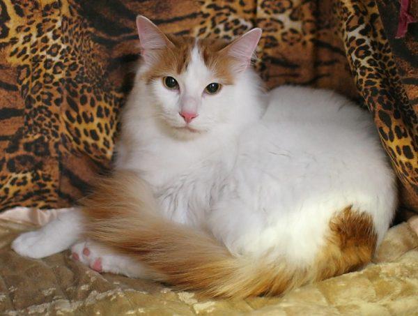 самка турецкого вана на одеяле леопардовой окраса