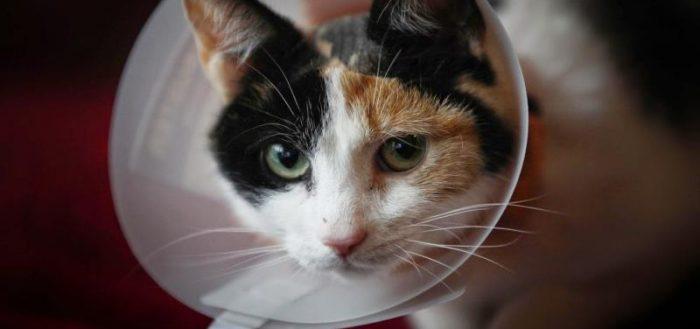 Кошка в защитном конусе