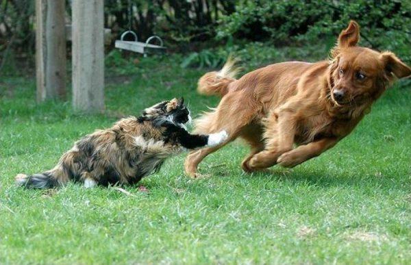 Кошка бросается на собаку