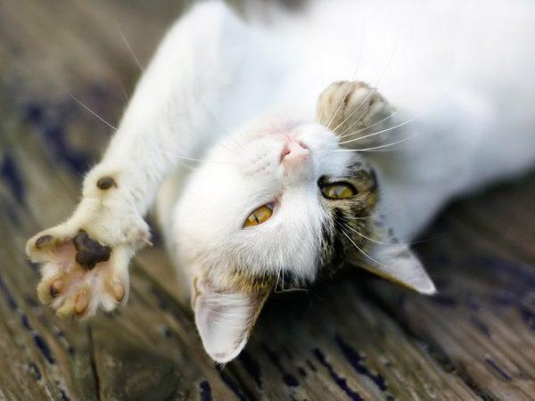 кошка отдыхает, лёжа на спине и потягивается