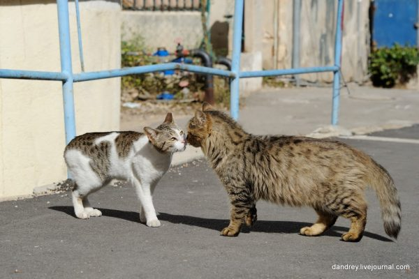 кошки обнюхивают друг друга