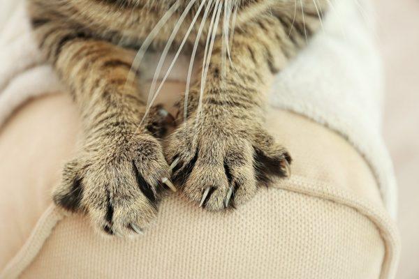 Кошкины лапки