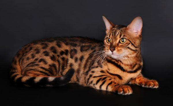 Кот бенгальской породы