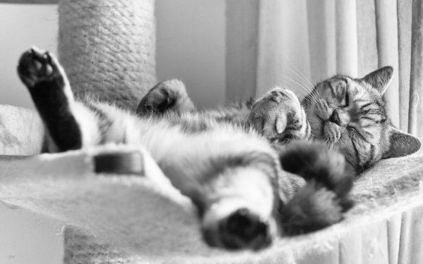 кот британской породы спит