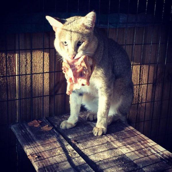 Кот ест мясо