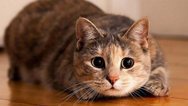 Кот готовится к атаке