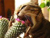 Кот, грызущий кактус