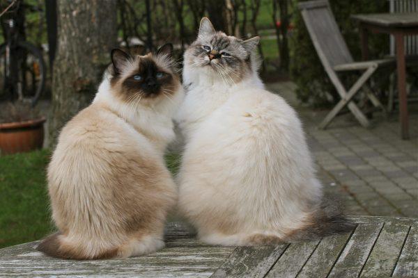 Кот и кошка бирма