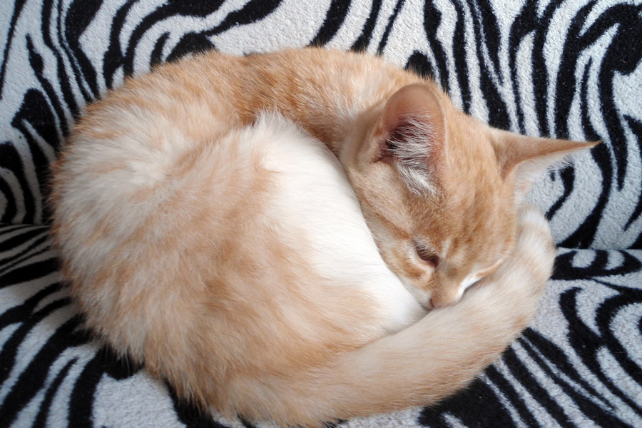 Кошка калачиком картинка