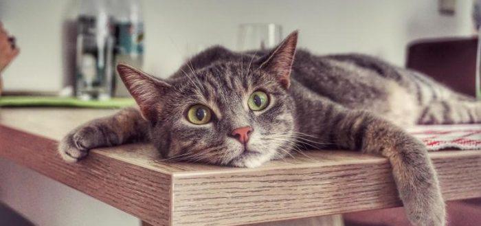 Кот лежит на столе