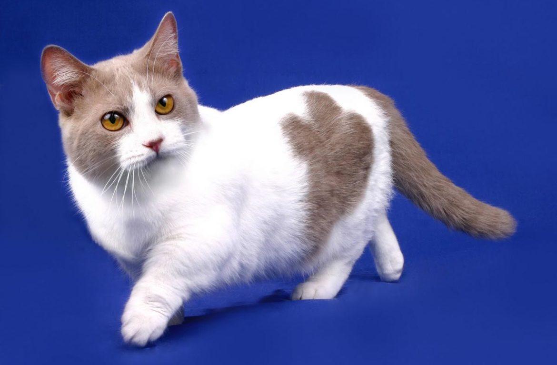 Картинки кошки таксы