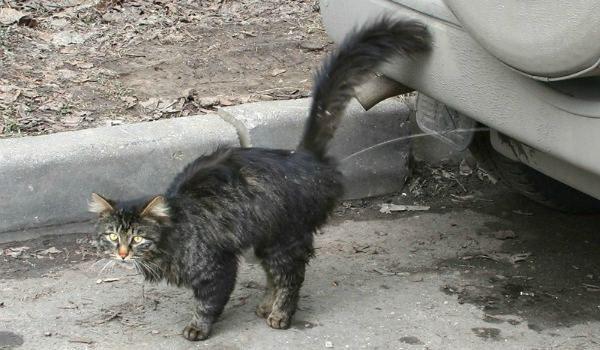 Кот метит машину