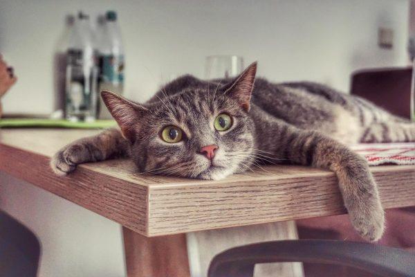 Кот на обеденном столе