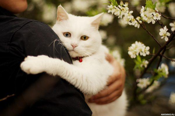 белый кот обнимает человека