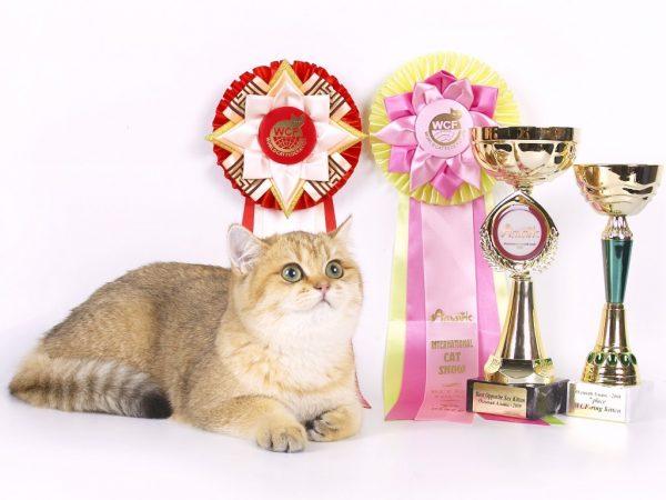 Кот и его награды с выставок