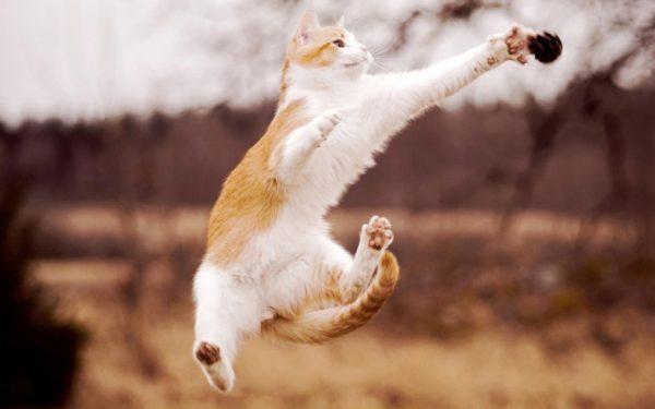 бело-рыжий кот прыгает