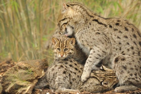 Кот-рыболов с котёнком