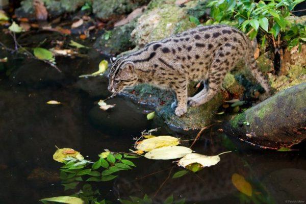 Кот-рыболов в пруду