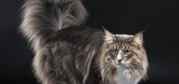 кот с большим хвостом