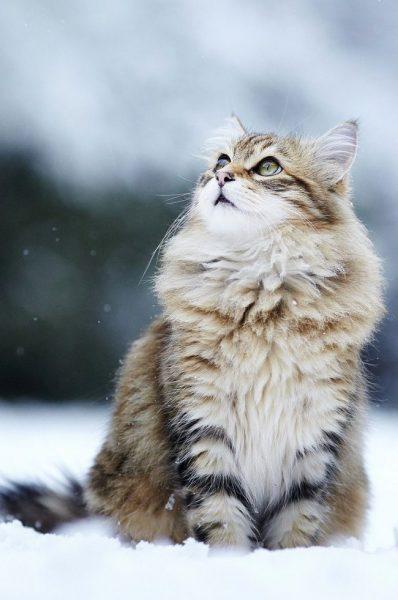 мохнатый кот сидит в снегу