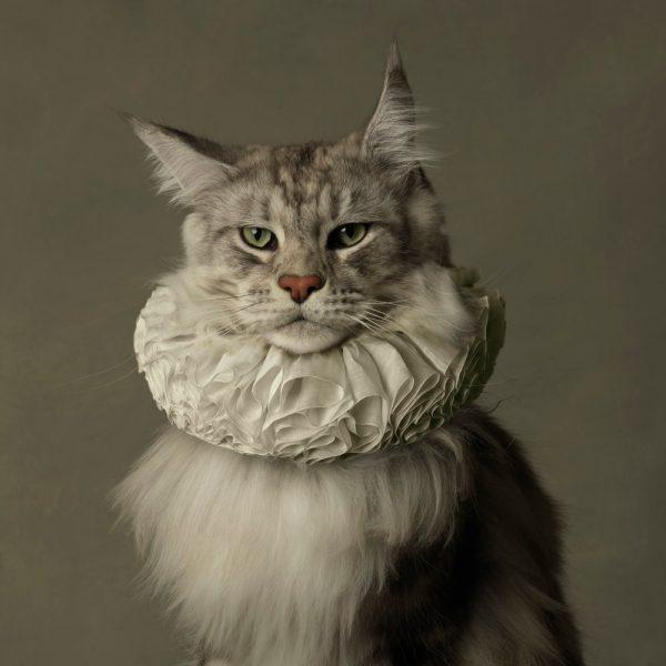Кот в елизаветинском воротнике
