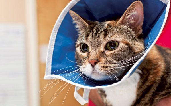 Кот в воротнике из ткани