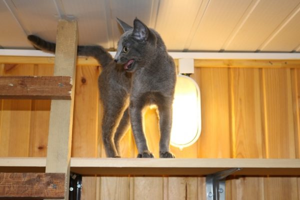 Серая кошка мяукает