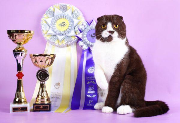 породистый кот с наградами