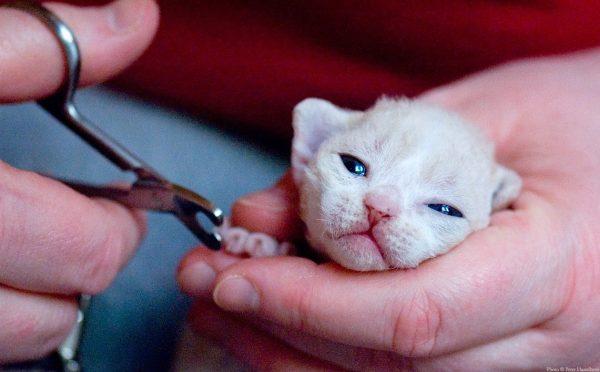 Котёнку стригут когти