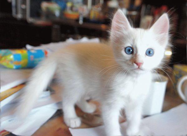 Котёнок ангоры в 3 месячном возрасте