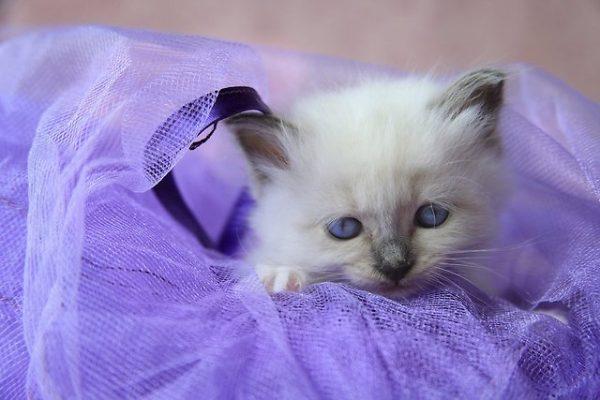 Котёнок бирмы